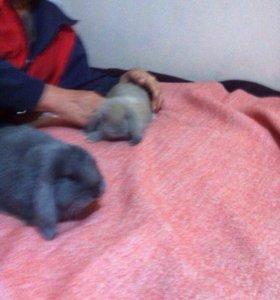 Кролики метисы Баран