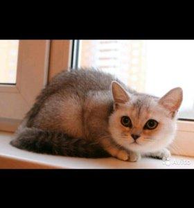 Кошка шотландская страйт шиншила