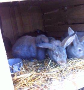 Кролики метисы Фландер