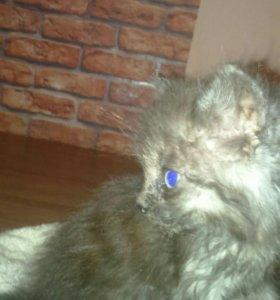 Отдам 2-х котят серый-кот, чёрная-кошечка!!