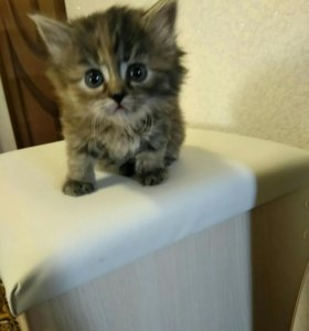 Котенка-девочку в добрые руки