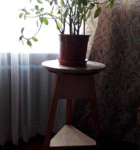 Фикус мелколистный, тринога под цветы