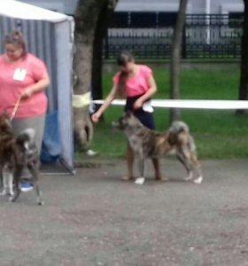Хендлер. Подготовка собак к выставке