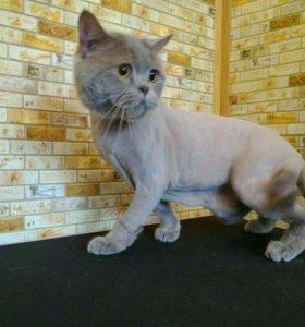 Британские кошки могут не линять 3-6 месяцев