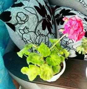 Цветы Махровая герань