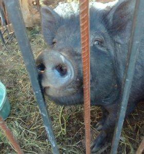 Свинка беременная
