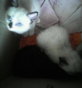 Котёнок сиамский 3 месяца