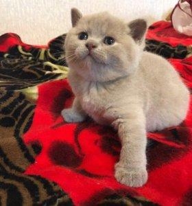 Британские котята остался один мальчик, кремовый