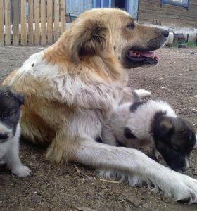 Отдам щенков в хорошие руки