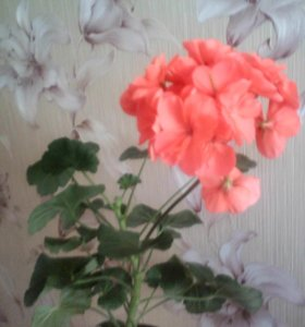 Герань цветок.