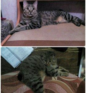 Котята Курильского бобтейла.