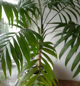 Молодая пальма хомедорея