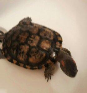Черепаха красноухая, диаметр 17 см