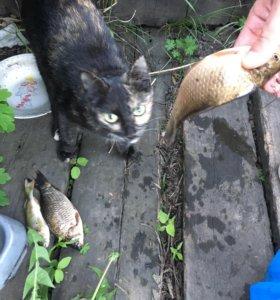 Отдам кошка мышеловка(с доставкой)
