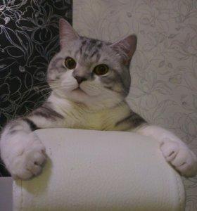 Вязка шотландский котик