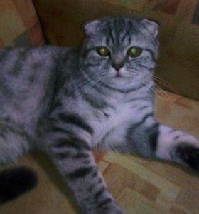 Кот Скоттиш-Фолд 8 месяцев
