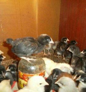 Петушки на откорм 1 месяц.