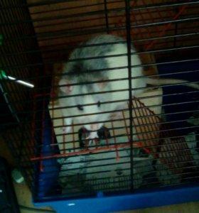 Крыса декоративная мальчик
