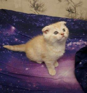 Продаются шотландские вислоухие котята