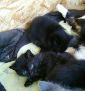 Три чёрных котёнка 3 месяца ,едят всё.