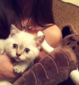 Котёнок британский (шиншилла) Марусино Красково