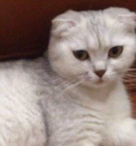 Кошка шотл. скотиш фолд