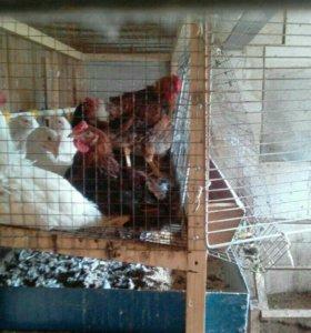 Петухи и яйца домашние