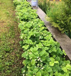 Клубника садовая сортовая (кусты)