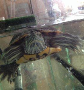 Красноухая черепаха в добрые руки.