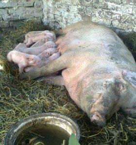 Сало свинное свежее