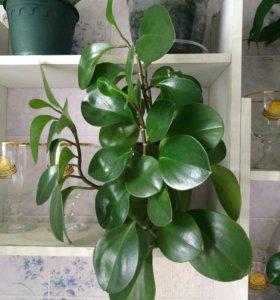 Комнатные растения Пеперомия