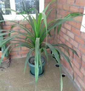 Цветок-винтовая пальма