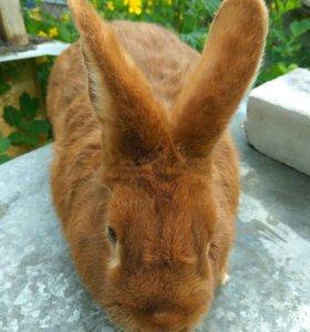 Кролик самец новозеландский красный