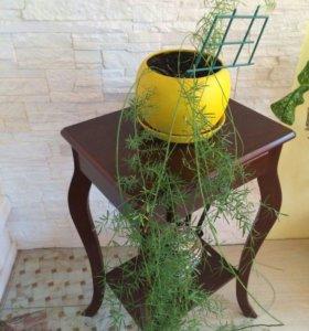 Комнатное растение Аспарагус