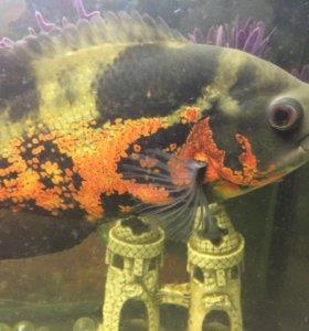Рыбки Аквариумные Астронотусы