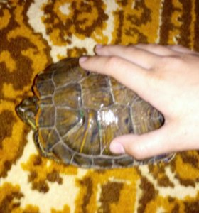 СРОЧНО ПРОДАМ!!! Черепаха Американская красноухая
