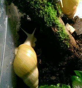 Улитка Ахатина фулика родаци альбино боди