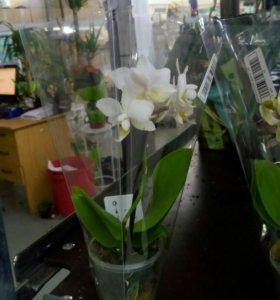 Орхидея фаленопсис мини 17 см