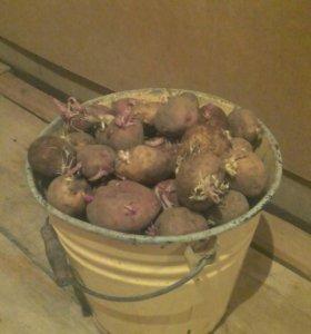 Продаю картофель на посадку