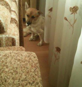 Собака Ломбардюша возраст 1 год 5 мес.