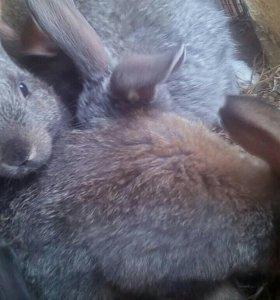 Кролики порода московская