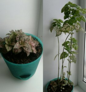 Комнатное растение в кашпо