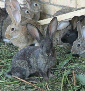 Крольчата породистые