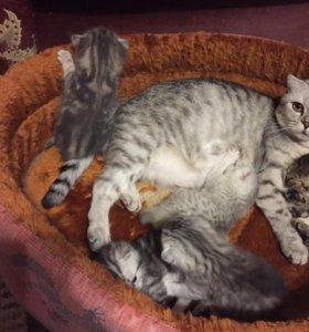 Котята Вискас мрамор на серебре