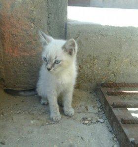 срочно продам сиамских котят