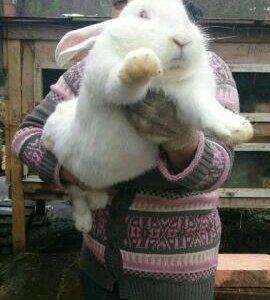 Кролики гиганты