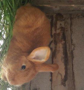Кролики новозиландские