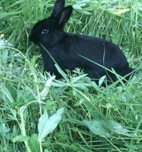 Карликовый Кролик мальчик (вязка)
