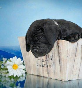 Лучшие щенки кане корсо в КЛД!!! Ласковые ДЕВОЧКИ!