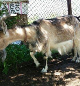 Дойная коза с дочкой